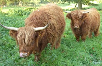 Highland Cattle Video