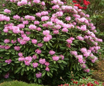 April Photograph of Rhododendrons Branklyn Garden Scotland